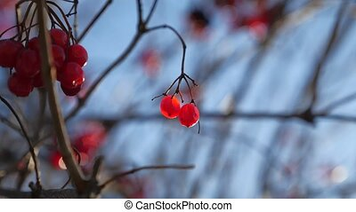 viburnum tree branch on a blue sky background red berries winter