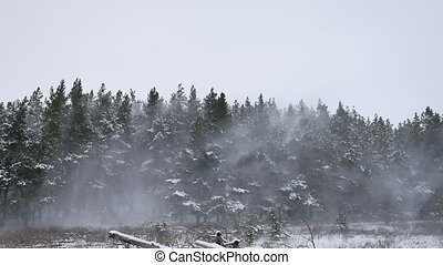 Winter forest pine forest wind with snow storm nature...