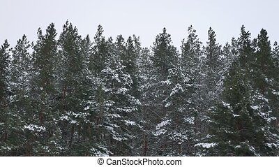the tops of pine trees in the winter nature snow landscape -...