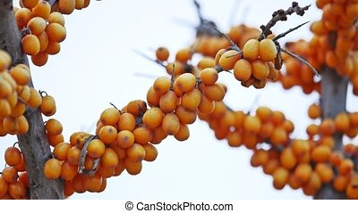 buckthorn tree branch with yellow berries nature