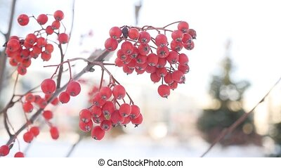 rowan branch red berries winter nature snow - rowan branch...
