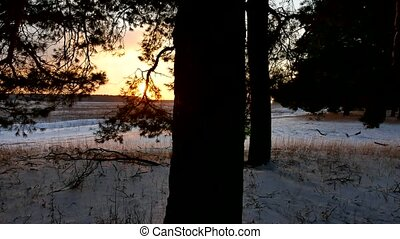 winter landscape sunset in the forest, fabulous pine nature...