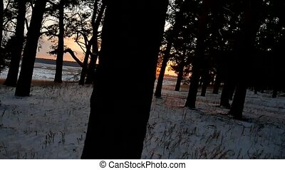 winter forest and sun evening landscape. sun christmas tree...