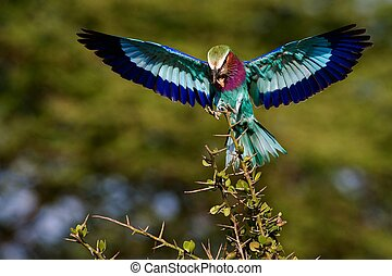 Lilac-breasted Roller with extraction - The bright bird sits...