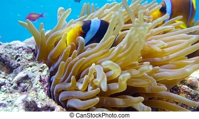 Clown fish in anemone close, Red sea. Egypt