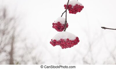 red bunches winter branch of rowan covered with the first...