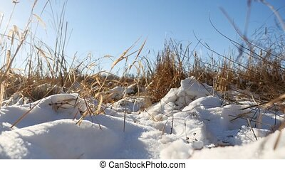 Winter dry grass in landscape the snow field snow nature -...