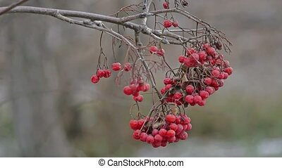 rowan branch with red berries swinging on the old nature...