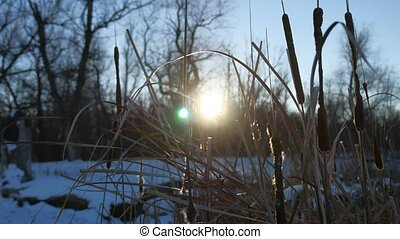 dry grass reeds in the swamp snow winter nature sun glare -...