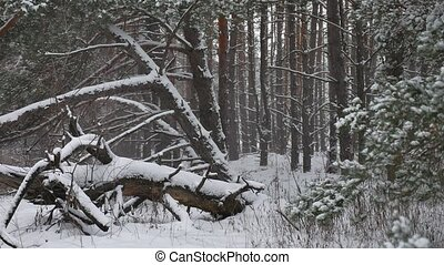 Winter forest nature pine forest with snow landscape...