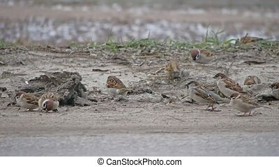 birds sparrows jumping on ground with winter snow - birds...
