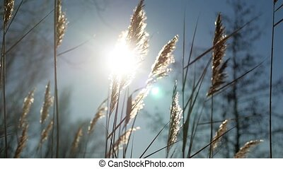 dry grass spikes swaying in the wind winter marsh snow sunlight nature landscape