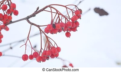rowan branch red berries nature winter snow - rowan branch...