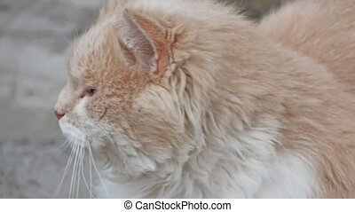 brown fluffy wandering cat portrait of unhappy evil is cold...