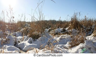 Winter dry grass in the snow landscape field snow nature -...