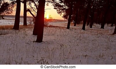 winter forest and sun landscape. christmas sun tree...