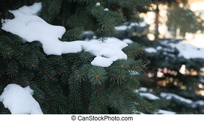 Winter fir tree nature snow on the branches of spruce...