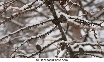 dry branches tree with pine cones winter nature snow...