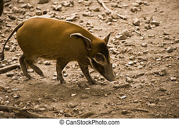 Red River Hog in Captivity - Red River Hog in captivity