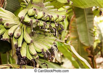 Banana plantation - Detail from banana plantation near...