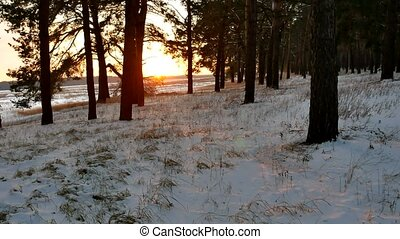 winter and sun forest landscape. christmas sunlight tree...