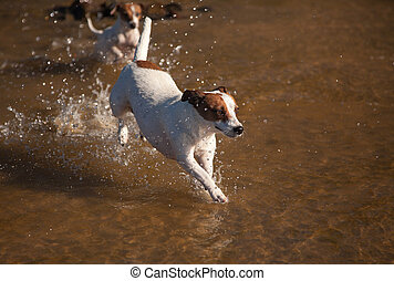 Playful Jack Russell Terrier Dogs Playing in the Water - Two...