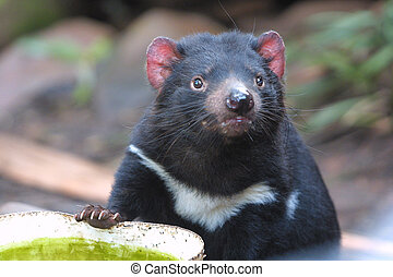 Tasmanian devil - Inquisitive Tasmanian devil