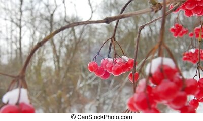 Bunch of red viburnum berries covered with snow in the...