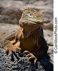The iguana on a lava. The iguana has lifted a head and...