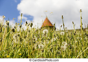 meadow with dandelion - meadow with common dandelion