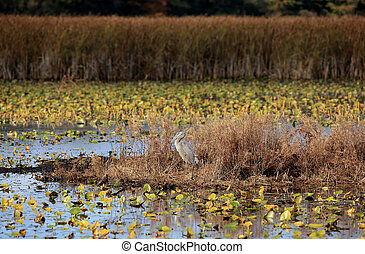 Great Blue Heron in a marsh in autumn
