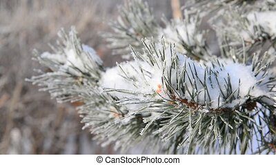 Sprig of pine trees covered with snow and frost