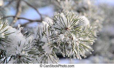 Sprig of pine trees covered with snow and frost - Sprig of a...