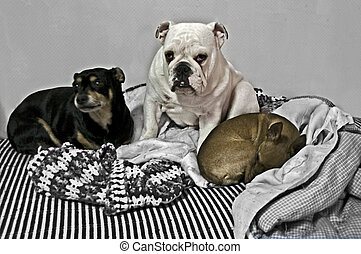 Group of dogs composed by mousetrap bulldog and chihuahua