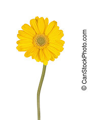 Yellow diaisy with a long stem - yellow Gerber daisy with...
