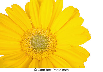 Close-up of yellow gerber daisy - yellow gerber daisy with...