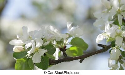 Spring flowers on an apple tree. The camera moves along the threads.