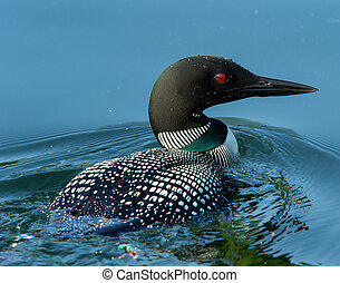 Common Loon (Gavia immer) Closeup - Common Loon (Gavia...