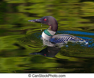 Common Loon with water drip (Gavia immer) - Common Loon...