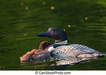 Baby Loon Begging For Food - Baby Loon Chick begging parent...