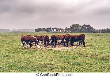 Hereford cows eating hay on a green field in the fall