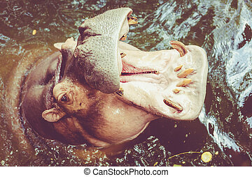 Hippopotamus. Hippo out the water