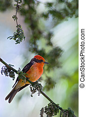 The Vermilion Flycatcher. - Brightly red birdie sits on a...