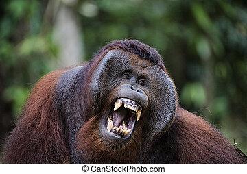 Samson becomes angry - Pongo pygmaeus wurmbii - southwest...