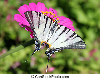 Scarce Swallowtail - butterfly (Scarce Swallowtail) sitting...