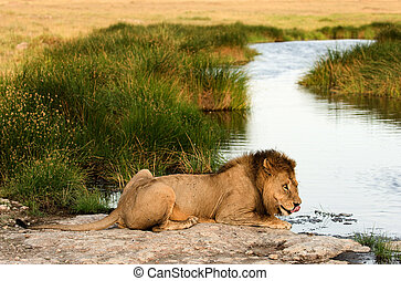 Lion on a watering place - The lion (Panthera leo nubica),...
