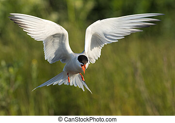 Flitting Tern./ The Common Tern is a seabird of the tern...