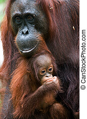 The orangutan with a cub
