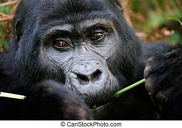 The gorilla eating. - Gorillas are the largest of the living...