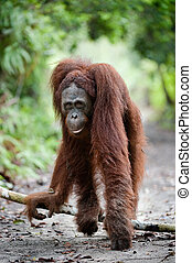 Orangomodel - IndonesiaBorneo Rain-forest Camp Leakey Pongo...